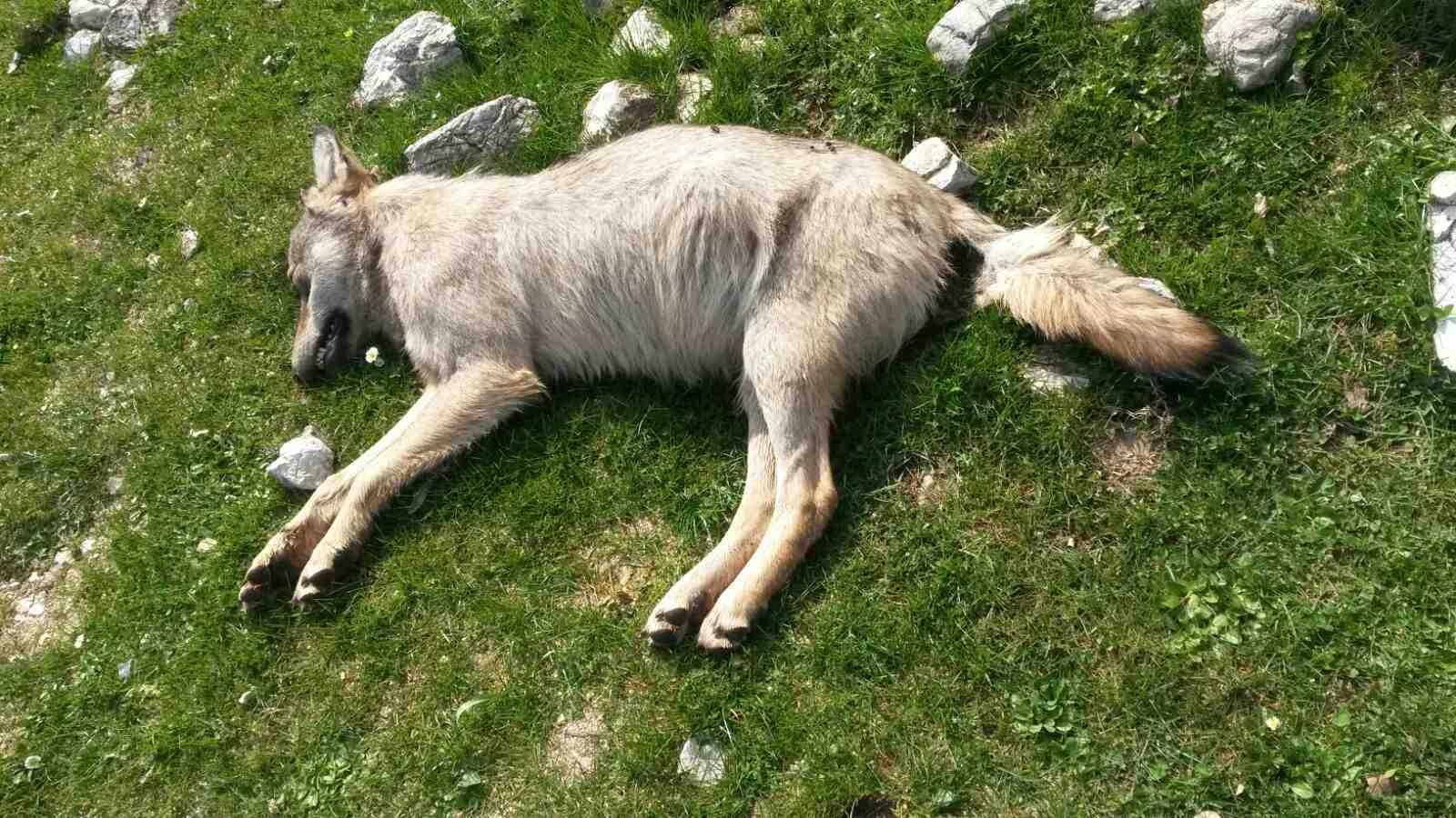 foto di un lupo morto