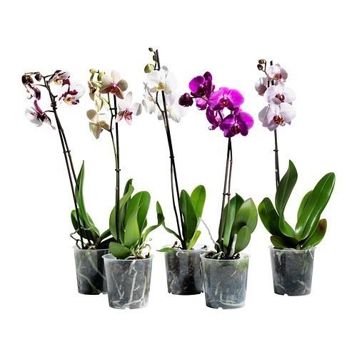 phalaenopsis-krukvaxt__0159436_PE316001_S4
