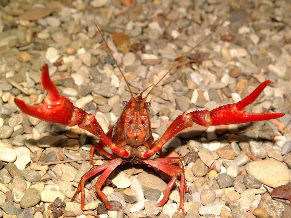 Gambero rosso della Louisiana - Procambarus clarkii