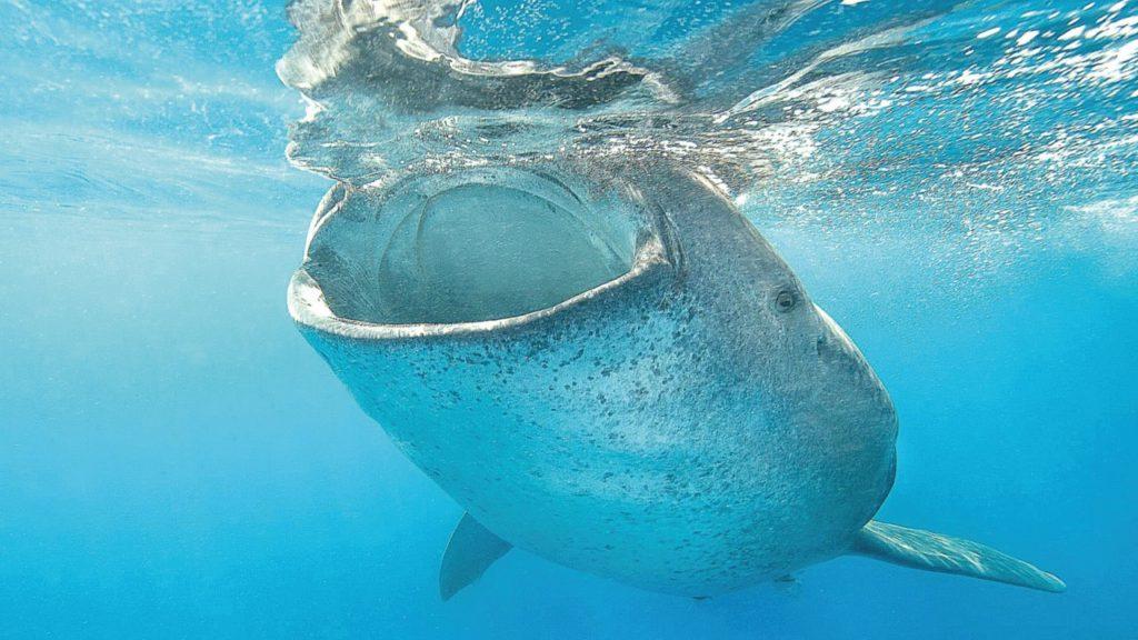 squalo-balena-mangia-plancton