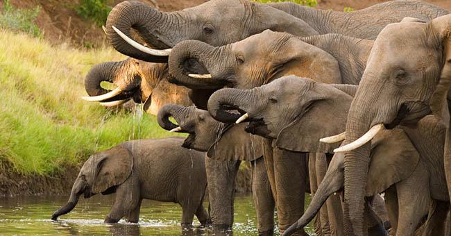 Strage di elefanti in Botswana