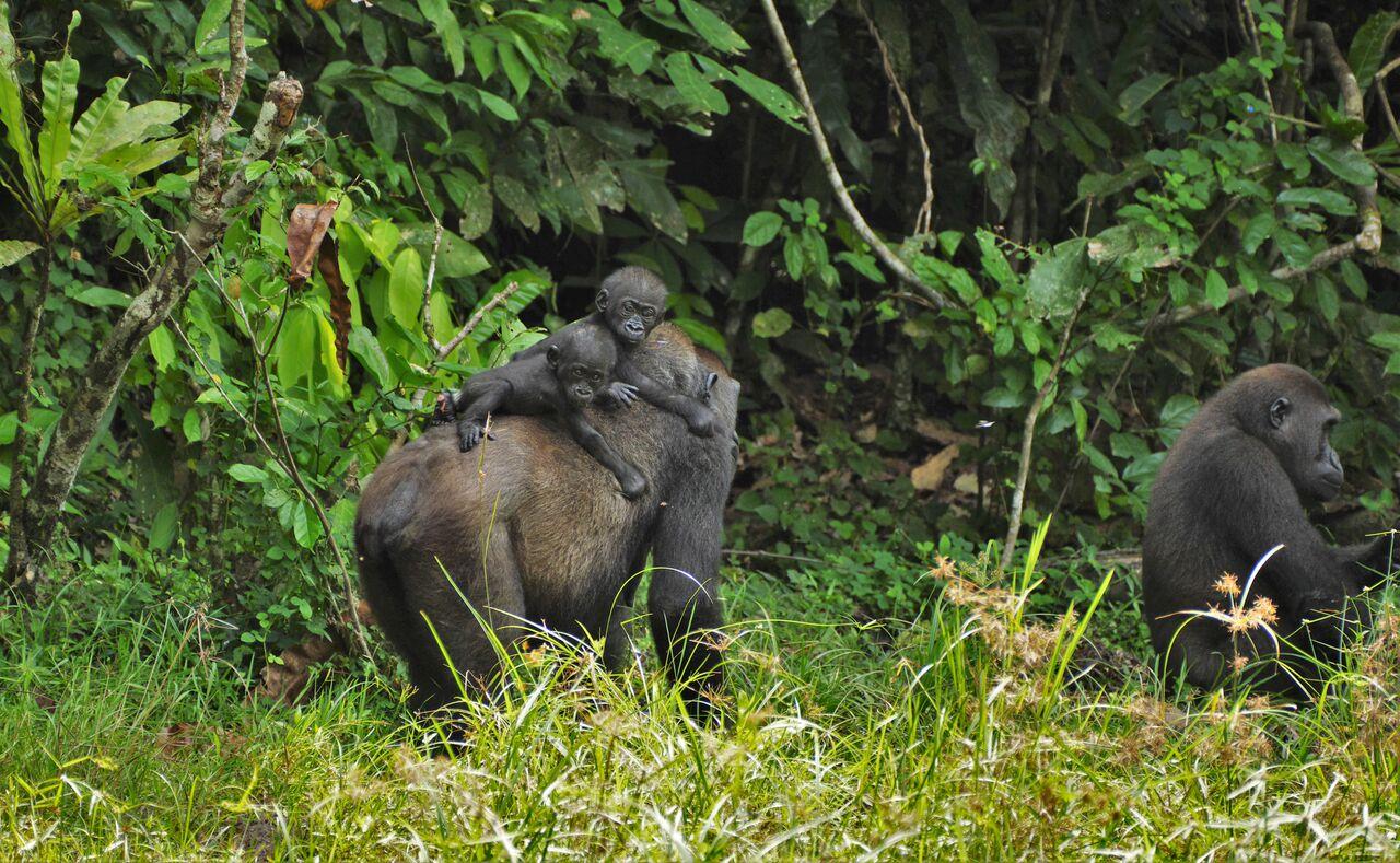 foto di Gorilla