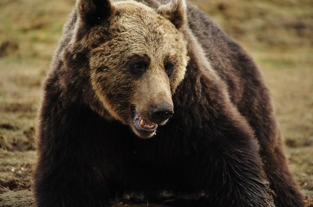 immagine di un orso
