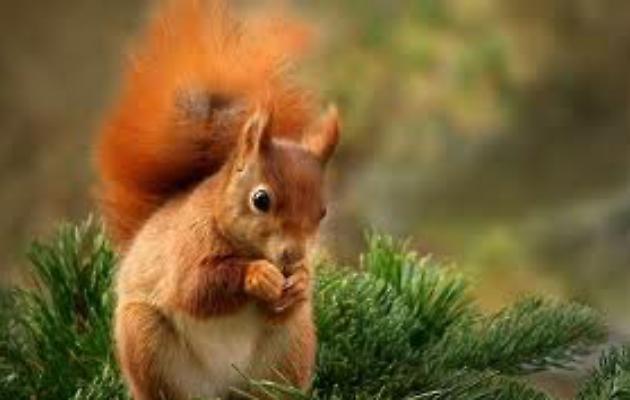 foto di uno scoiattolo rosso