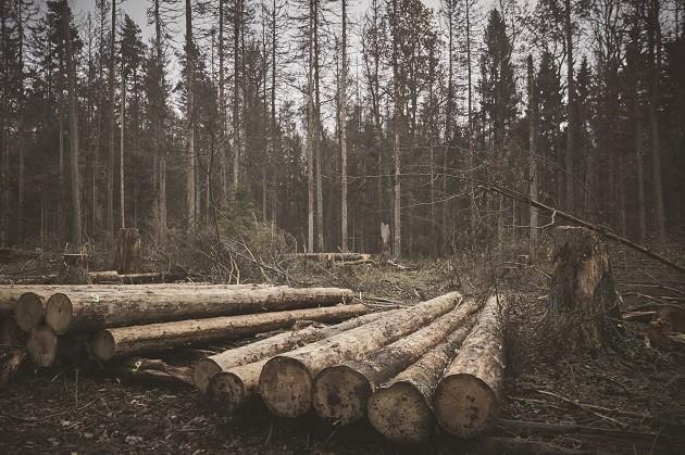 immagine di alberi tagliati