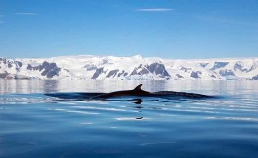 immagine balene nell'Antartico