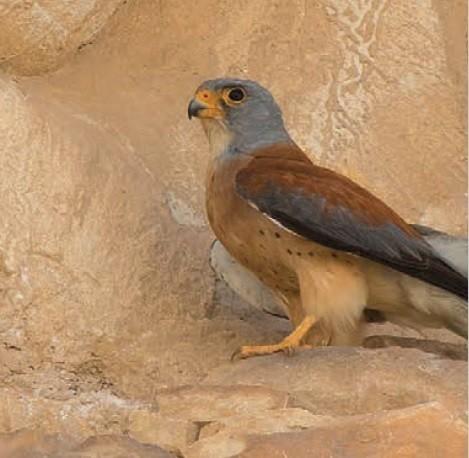 foto di Falco grillaio