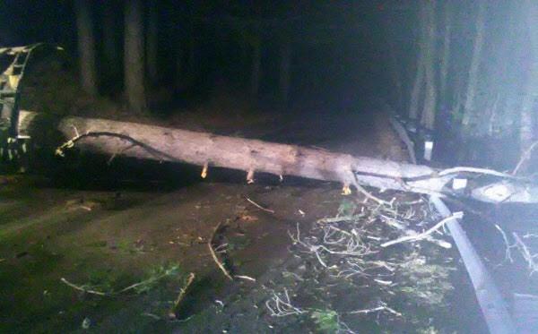 foto di un pino tagliato in Sila