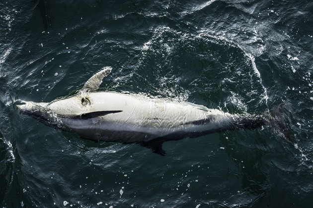 immagine di un delfino morto che galleggia al largo della costa francese