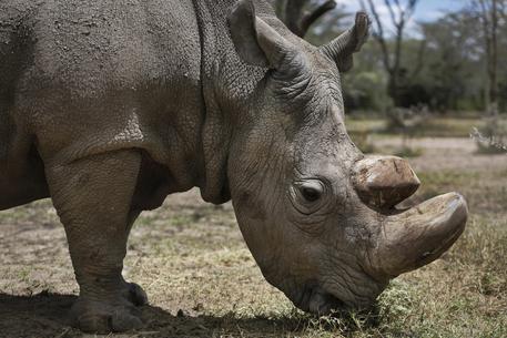 Kenya, morte del rinoceronte bianco