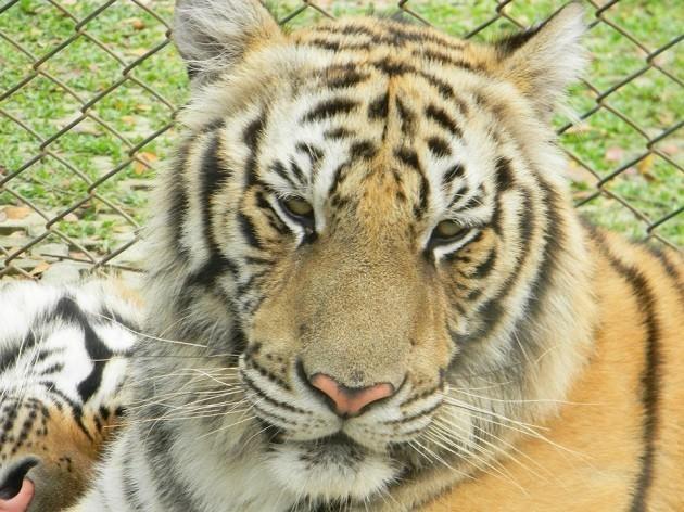 """primo piano di una tigre """"triste"""""""