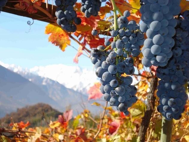 immagine di un vitigno d'alta quota