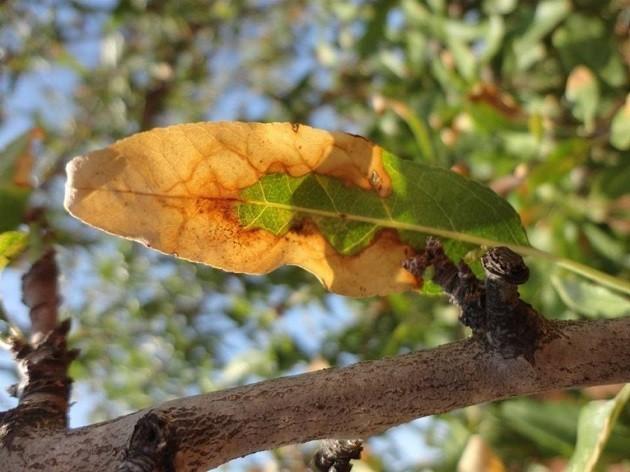 immagine di una pianta d'ulivo colpita dalla Xylella