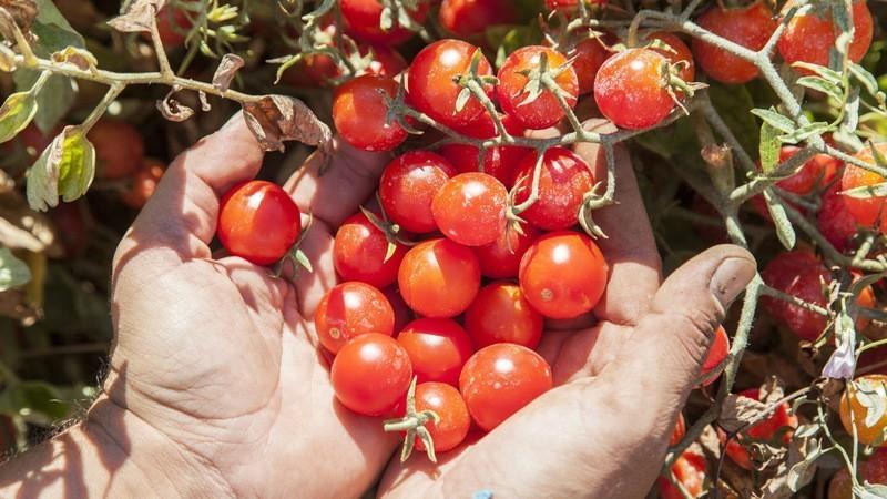 Raccolta pomodori Altromercato tomato revolution
