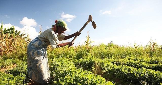 immagine di una contadina al lavoro nei campi in Malawi