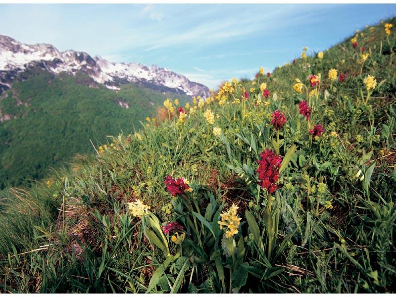 immagini di fiori in quota sulle Alpi