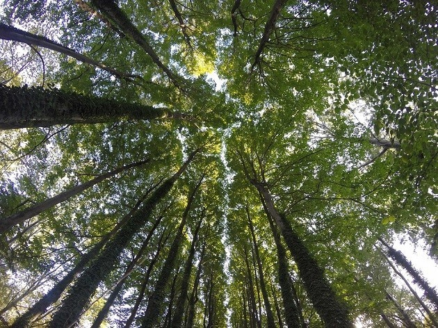 foto di una foresta di lecci