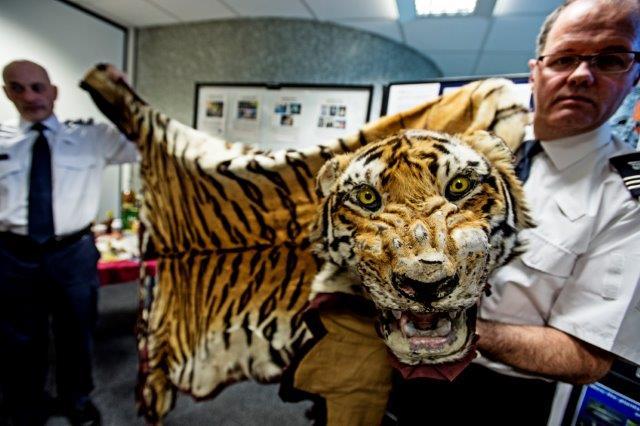 4.tigre Pelli
