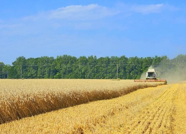 immagine di un campo di grano bio