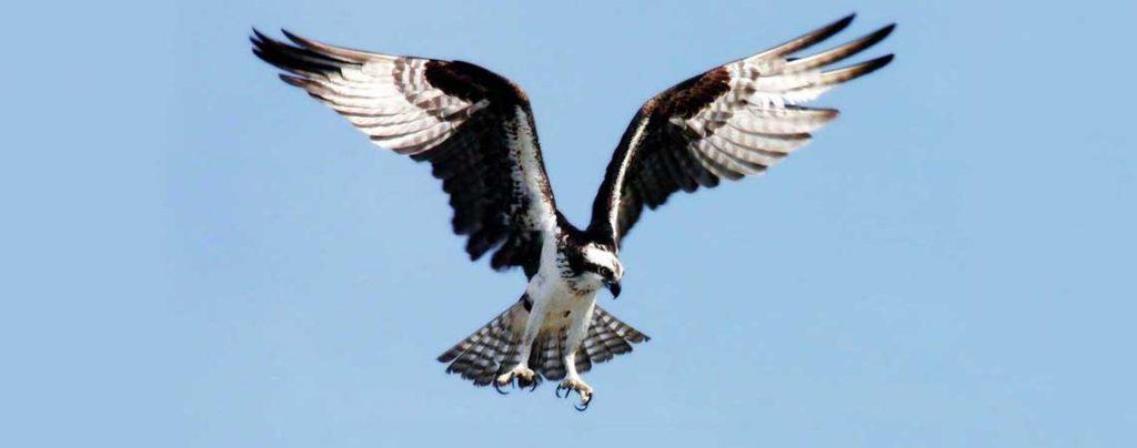 Falco pescatore nidifica all'oasi Wwf di Orbetello