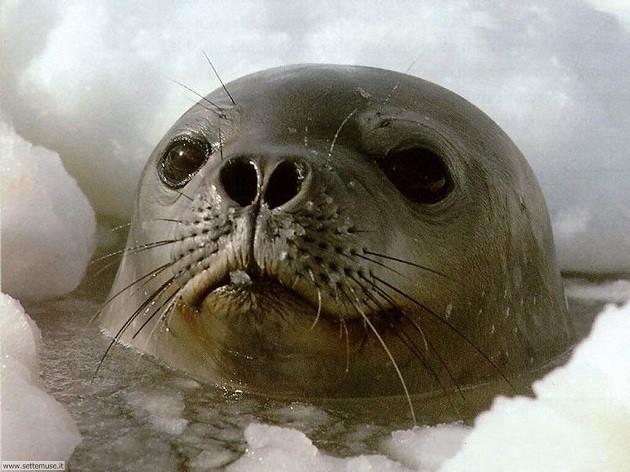 primo piano di una foca e dei suoi baffi