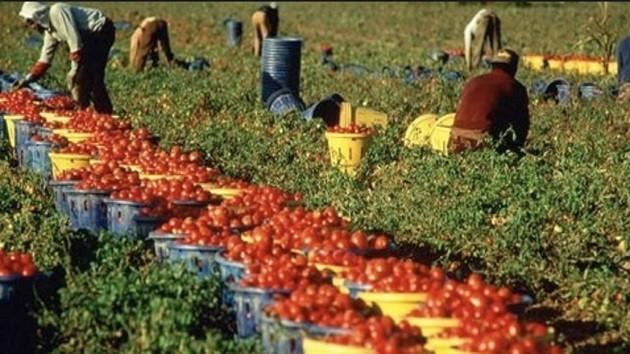 immagini di migranti mentre raccolgono pomodori