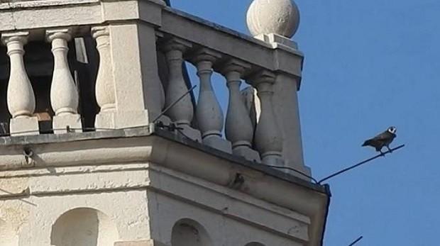 immagine di un falco pellegrino in cima alla Torre della Ghirlandina