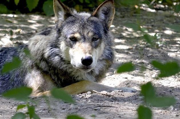 foto di un lupo in Trentino