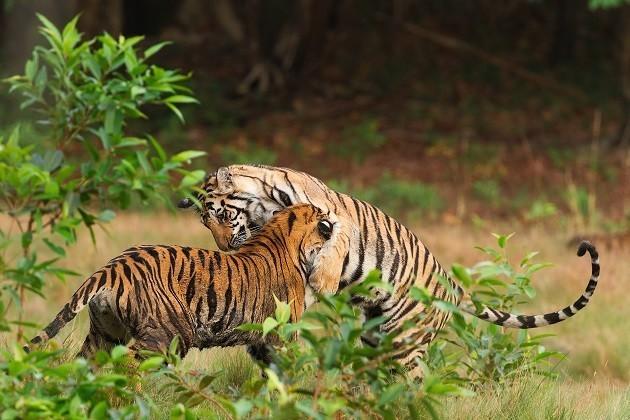 immagine di una coppia di tigri