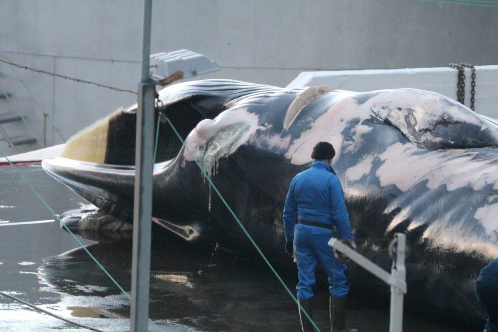 L'equipaggio di Sea Shepherd denuncia la caccia commerciale alla balenottera comune in Islanda