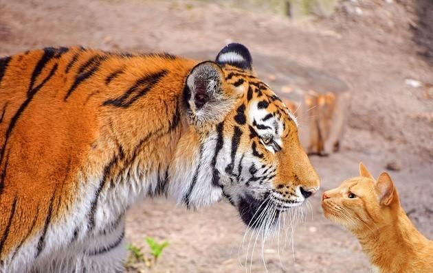 foto di una tigre e un gatto