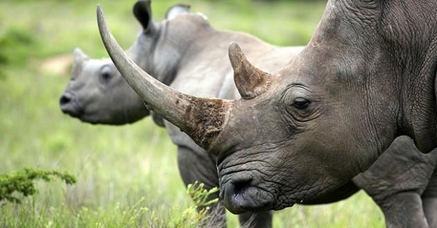 primo piano di due rinoceronti bianchi
