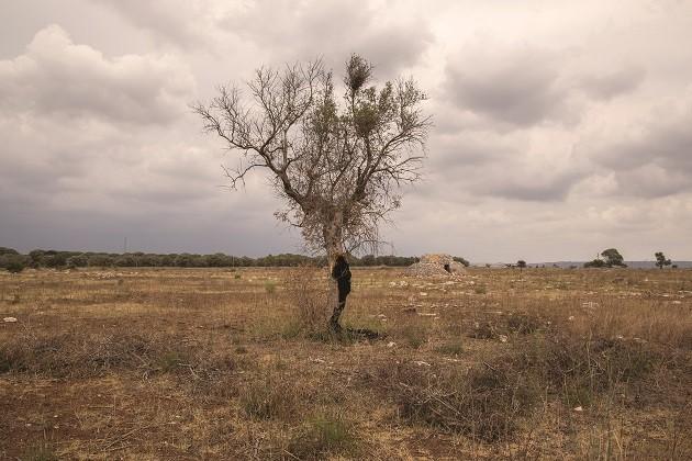 foto di un ulivo colpito dalla xylella