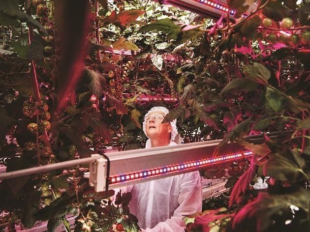 Dentro una piantagione di pomodori con illuminazione a Led: l'agronomo Henk Kalkman, nel Delphy improvement centre di Bleiswijk, in Olanda, ispeziona le coltivazioni. Una delle foto di Luca Locatelli