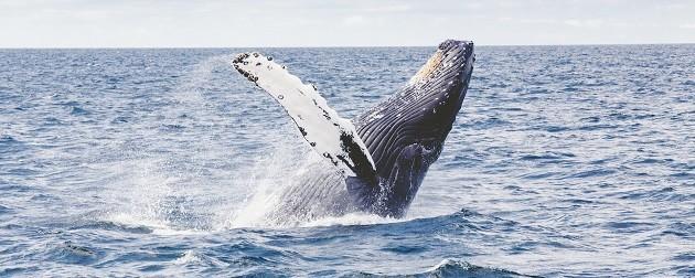 immagine di un cetaceo nel Santuario Pelagos