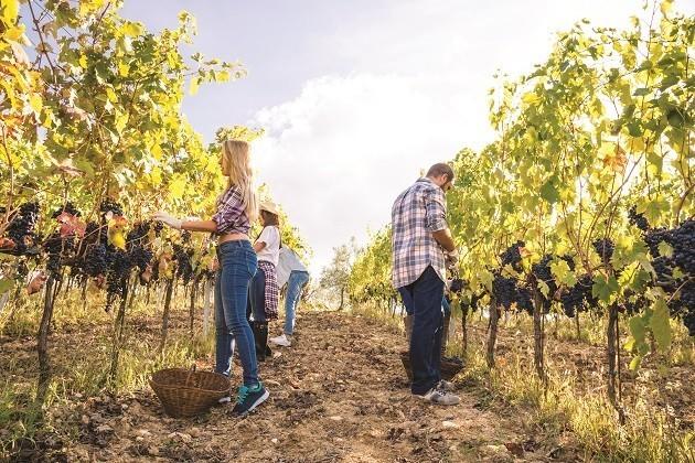due ragazzi raccolgono l'uva in un vitigno in Toscana