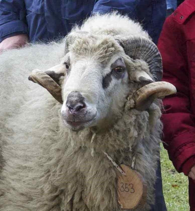 foto di una pecora