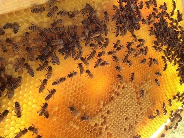 Un'immagine di api al lavoro