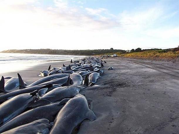 un'immagine dei cetacei spiaggiati