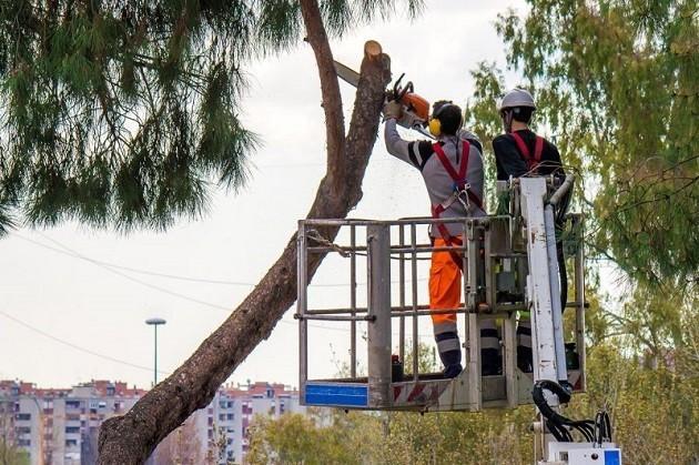 L'immagine dell'abbattimento di un pino