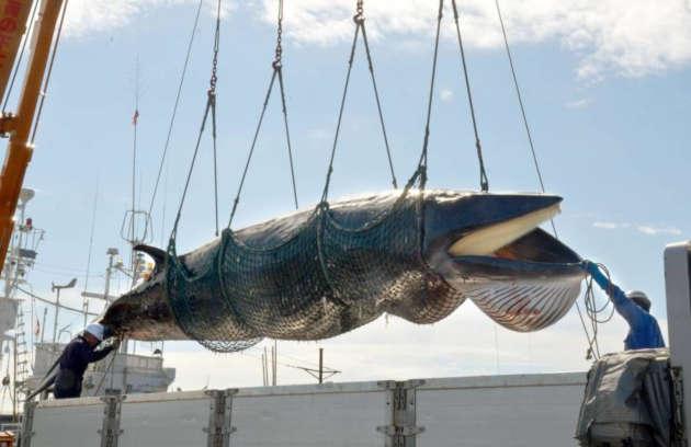 immagine di una balena catturata e uccisa