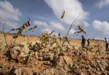 Locuste Africa Orientale