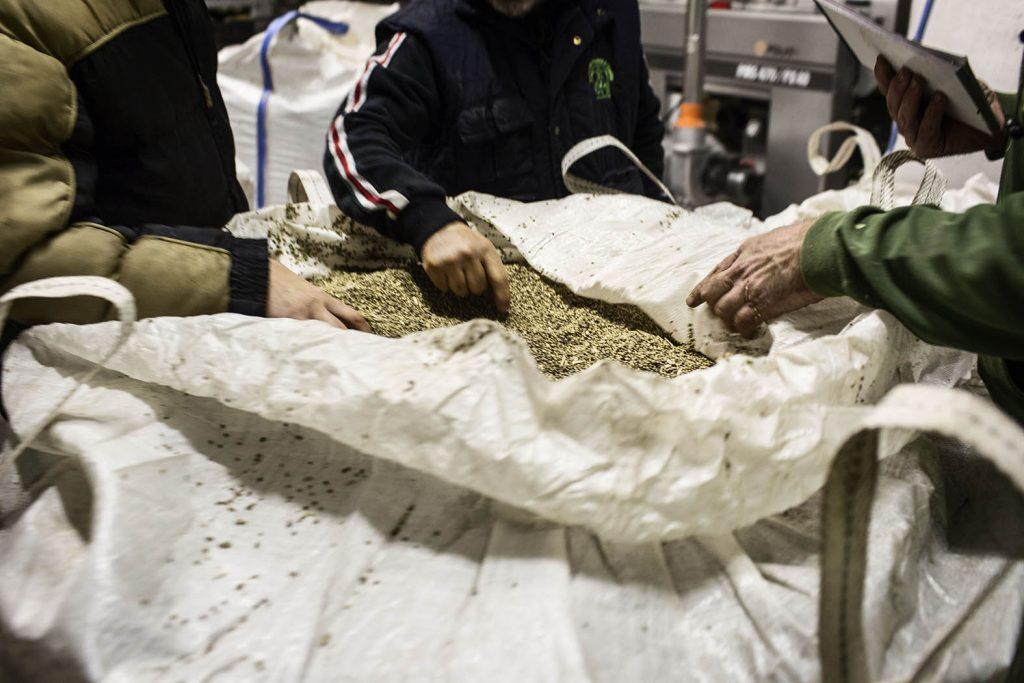 Azienda Trionfi Honorati Controllo dei semi di canapa prima della lavorazione dell'olio. Oleificio Cartechini Monteccassiano (Macerata) Novembre 2016
