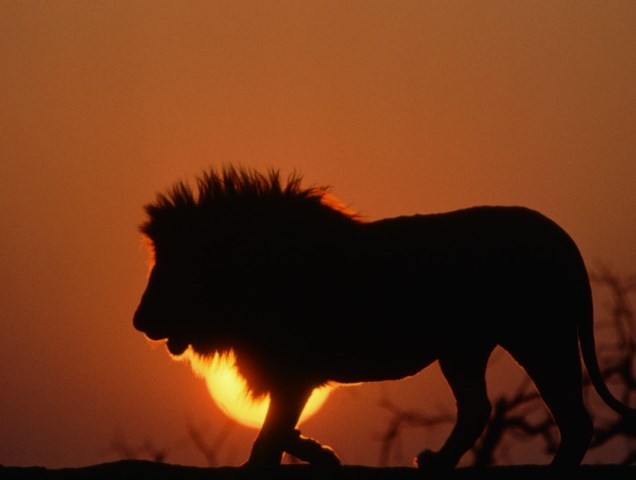 ca. 1996, Zimbabwe --- Male Lion Silhouetted at Sunset --- Image by © Tom Brakefield/CORBIS