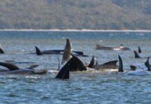 Tasmania balene spiaggiate