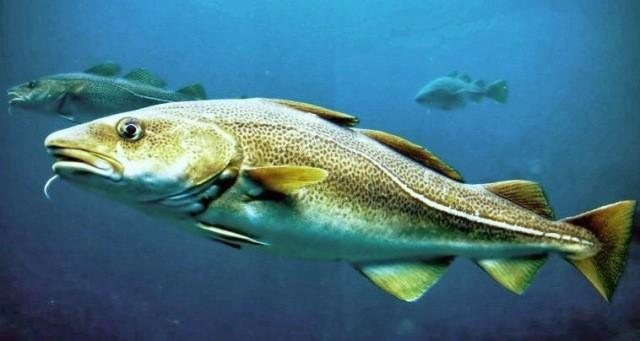Indonesia arresta bracconieri merluzzo