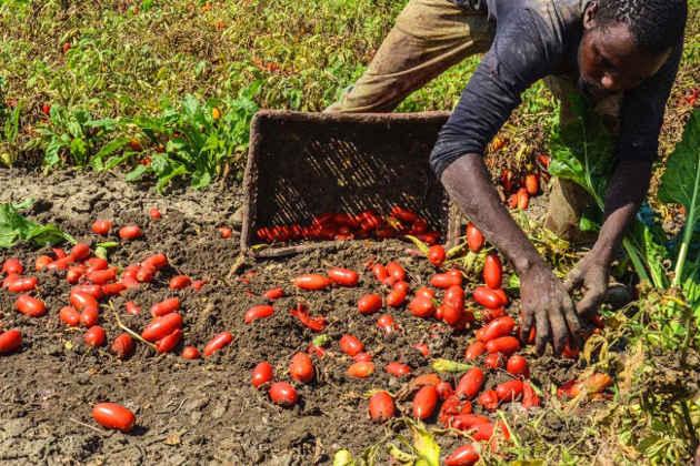 L'immagine di un raccoglitore di pomodori immigrato