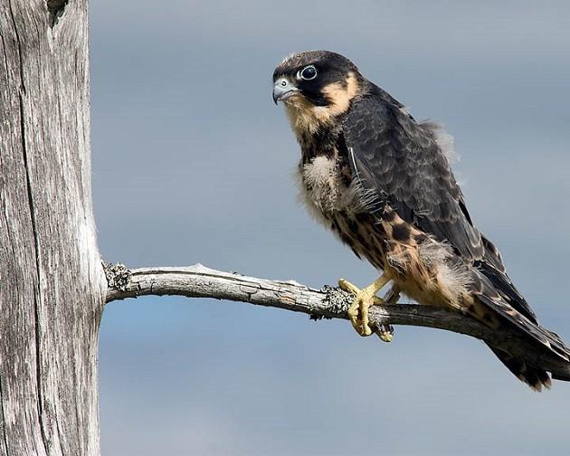 L'immagine di un Falco Lodolaio