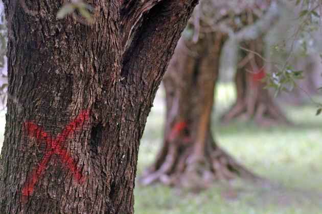 L'immagine di un ulivo colpito dal batterio xylella