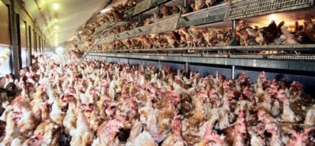 un allevamento intensivo di galline ovaiole